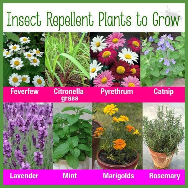 Best Mosquito Repelling Plants At Your Home Safe O Kid
