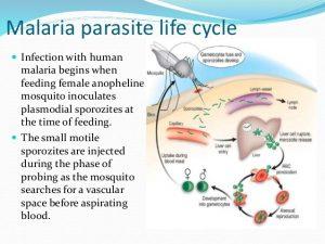 malaria-parasite-life-cycle-